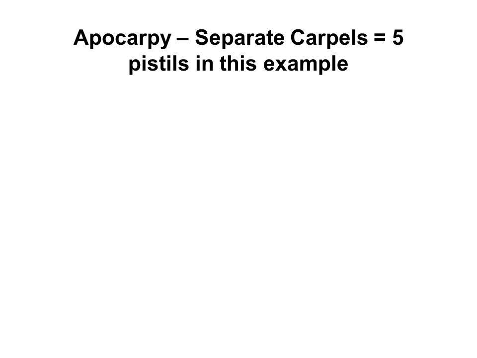 Apocarpy – Separate Carpels = 5 pistils in this example