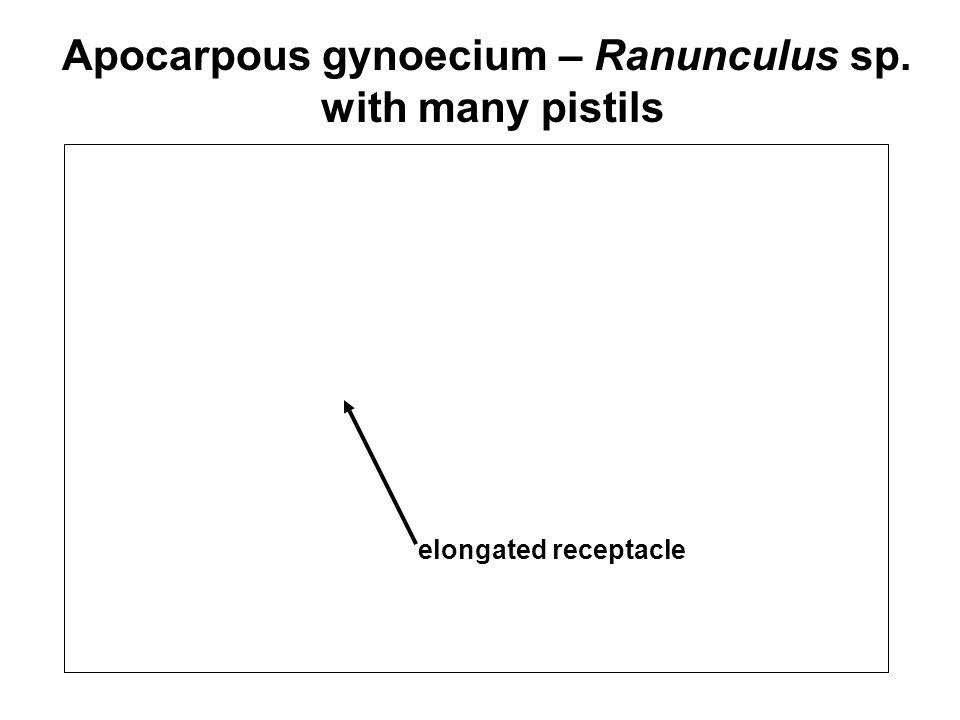 Apocarpous gynoecium – Ranunculus sp.