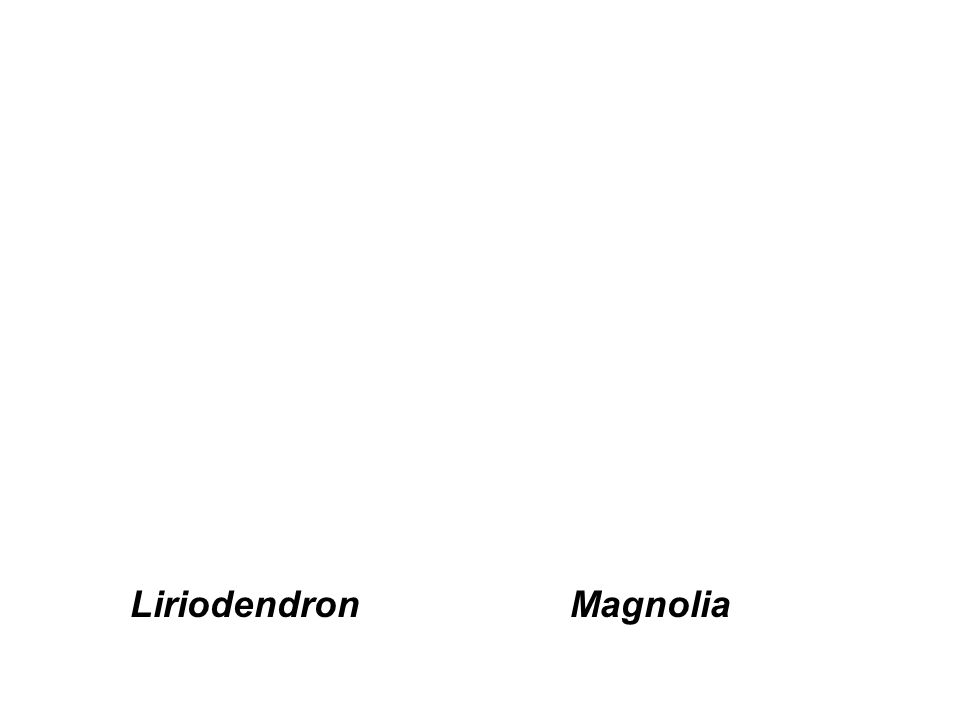 Liriodendron Magnolia