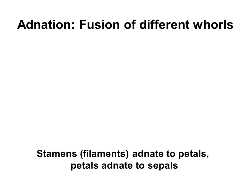 Adnation: Fusion of different whorls
