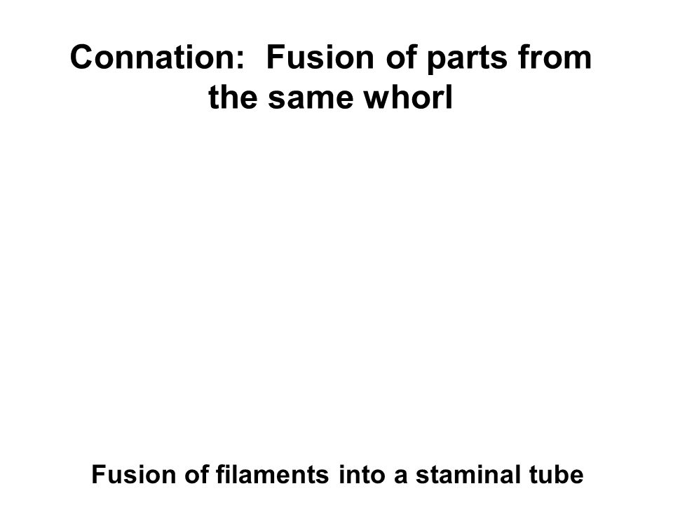 Connation: Fusion of parts from the same whorl