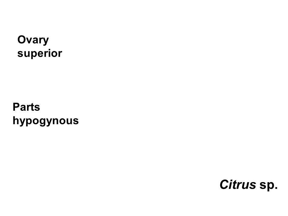 Ovary superior Parts hypogynous Citrus sp.