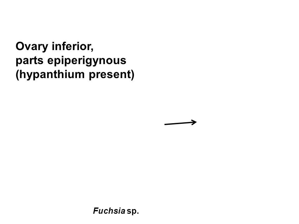 Ovary inferior, parts epiperigynous (hypanthium present) Fuchsia sp.