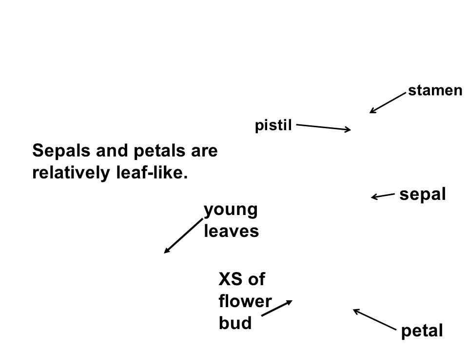 Sepals and petals are relatively leaf-like. sepal young leaves XS of