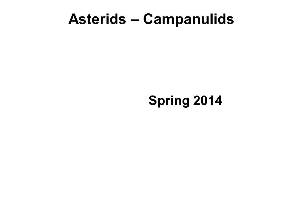 Asterids – Campanulids