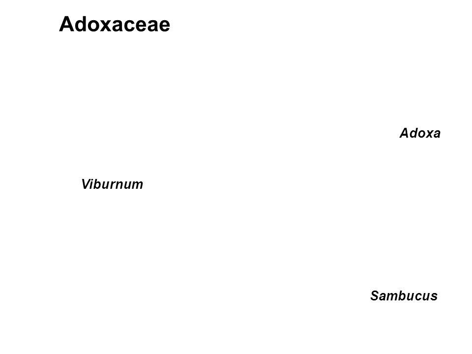 Adoxaceae Adoxa Viburnum Sambucus