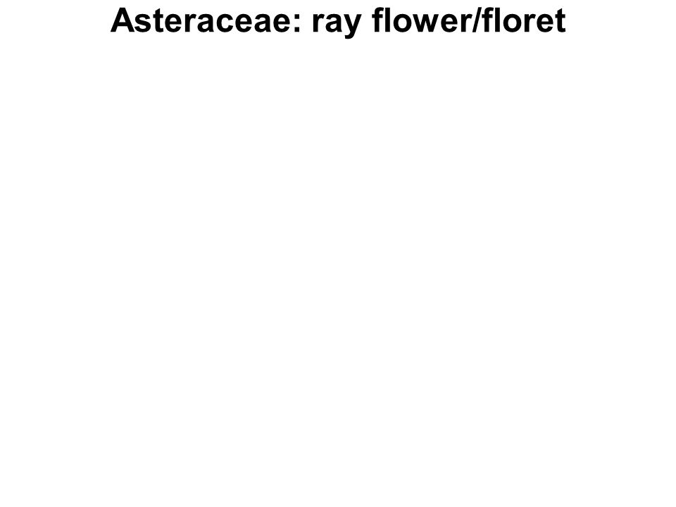 Asteraceae: ray flower/floret
