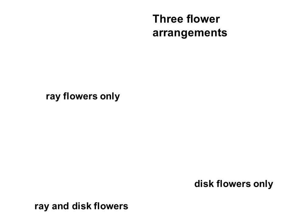 Three flower arrangements ray flowers only disk flowers only