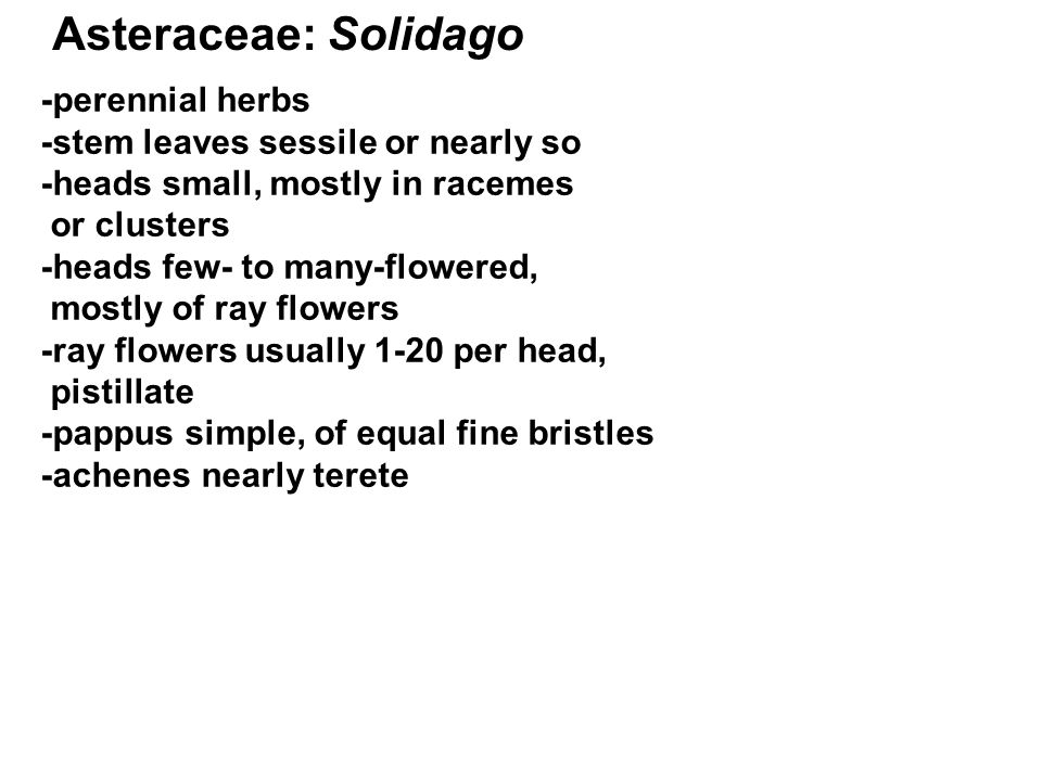 Asteraceae: Solidago -perennial herbs