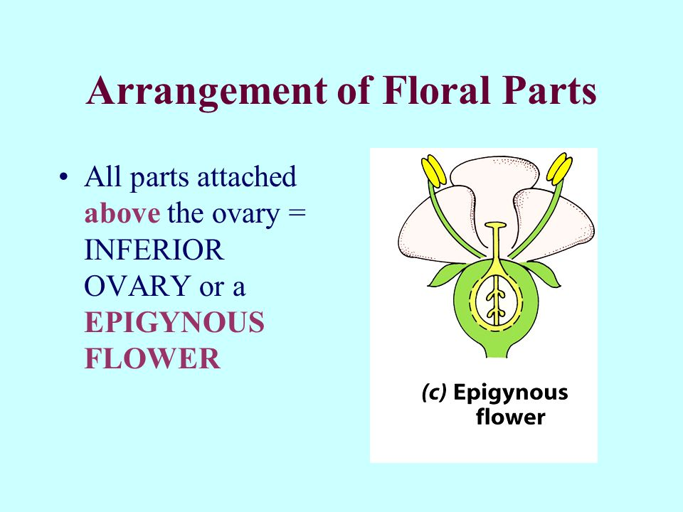 Arrangement of Floral Parts