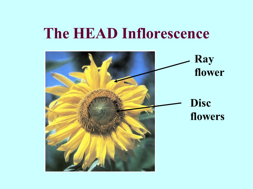 The HEAD Inflorescence