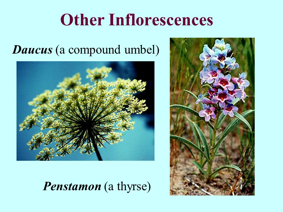 Other Inflorescences Daucus (a compound umbel) Penstamon (a thyrse)