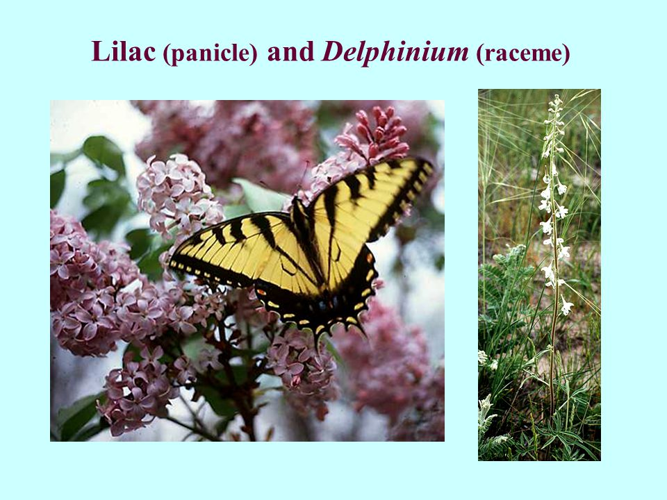 Lilac (panicle) and Delphinium (raceme)