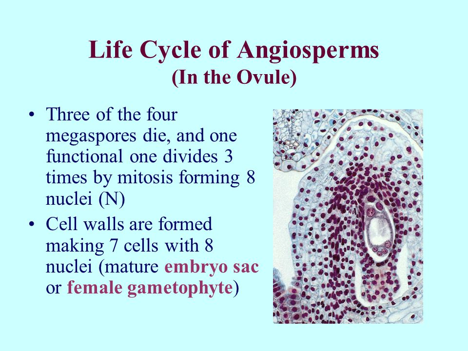 Life Cycle of Angiosperms (In the Ovule)