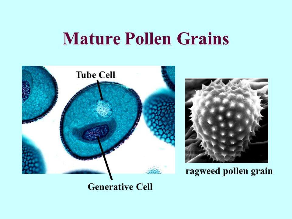 Mature Pollen Grains Generative Cell Tube Cell ragweed pollen grain