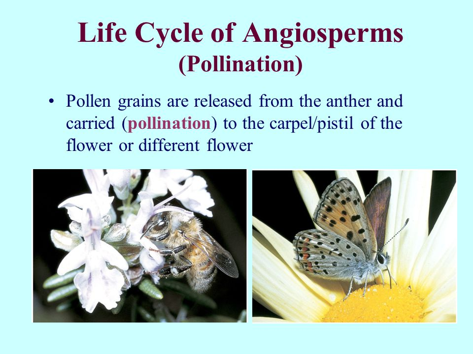 Life Cycle of Angiosperms (Pollination)
