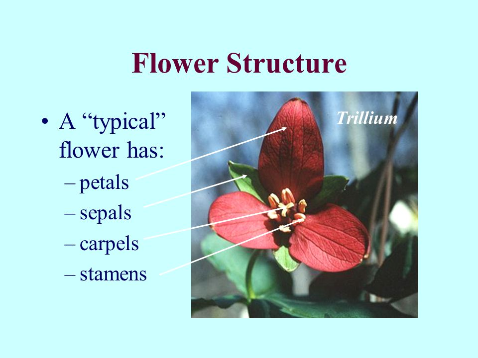 Flower Structure A typical flower has: petals sepals carpels stamens