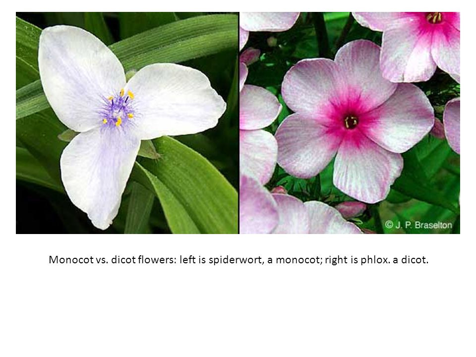 Monocot vs. dicot flowers: left is spiderwort, a monocot; right is phlox. a dicot.