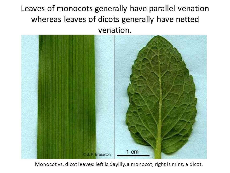 Leaves of monocots generally have parallel venation whereas leaves of dicots generally have netted venation.