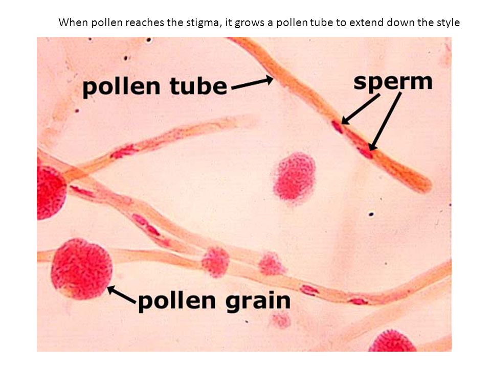 When pollen reaches the stigma, it grows a pollen tube to extend down the style