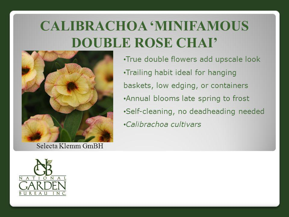 Calibrachoa 'MiniFamous Double Rose Chai'