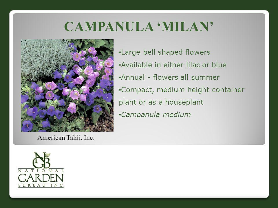 Campanula 'Milan' Large bell shaped flowers
