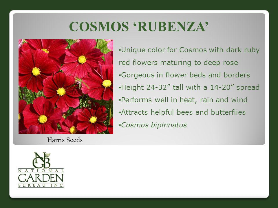 Cosmos 'Rubenza' Unique color for Cosmos with dark ruby red flowers maturing to deep rose. Gorgeous in flower beds and borders.