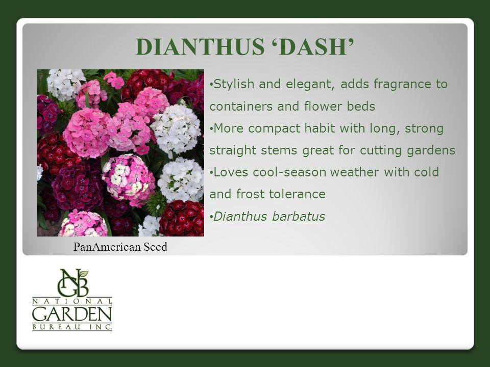 Dianthus 'Dash' Stylish and elegant, adds fragrance to containers and flower beds.