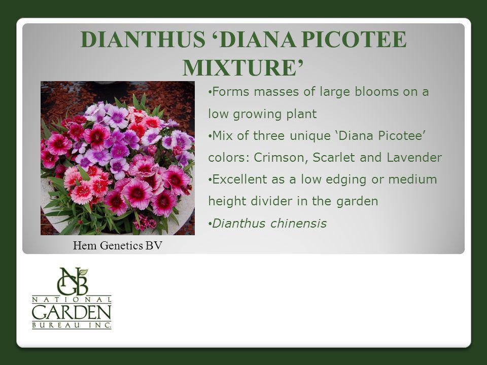 Dianthus 'Diana Picotee Mixture'