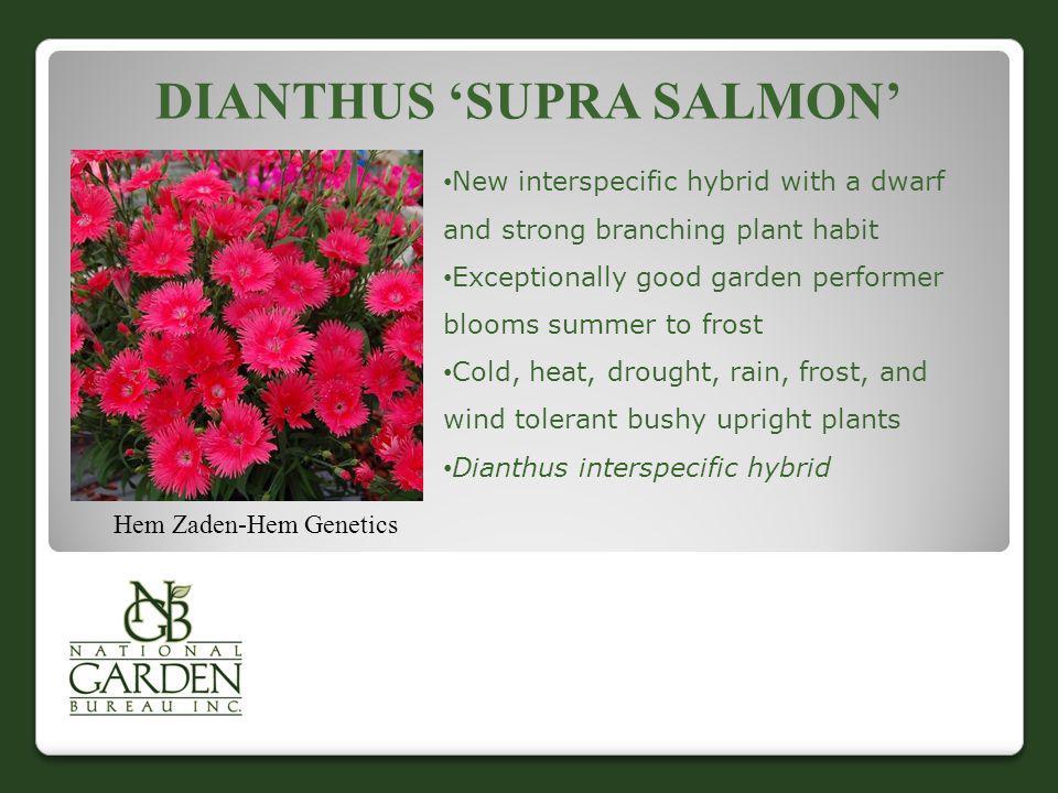 Dianthus 'Supra Salmon'