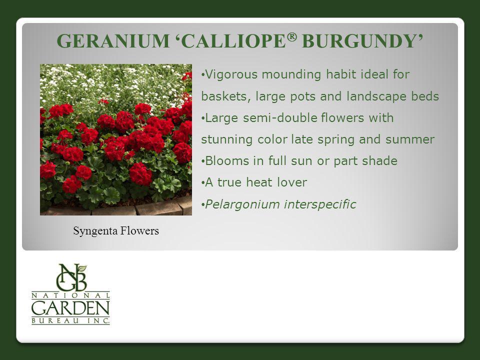 Geranium 'Calliope Burgundy'