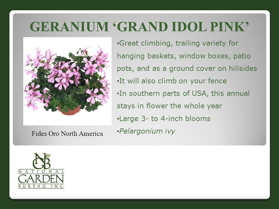 Geranium 'Grand Idol Pink'
