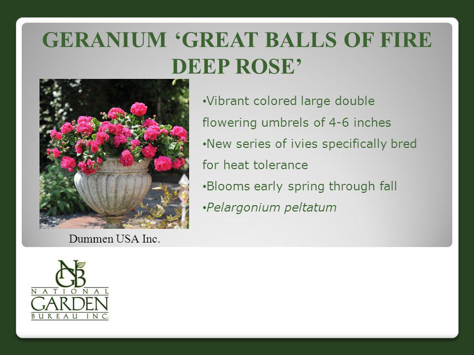 Geranium 'Great Balls of Fire Deep Rose'