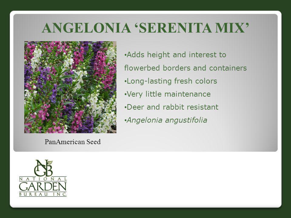 Angelonia 'Serenita Mix'
