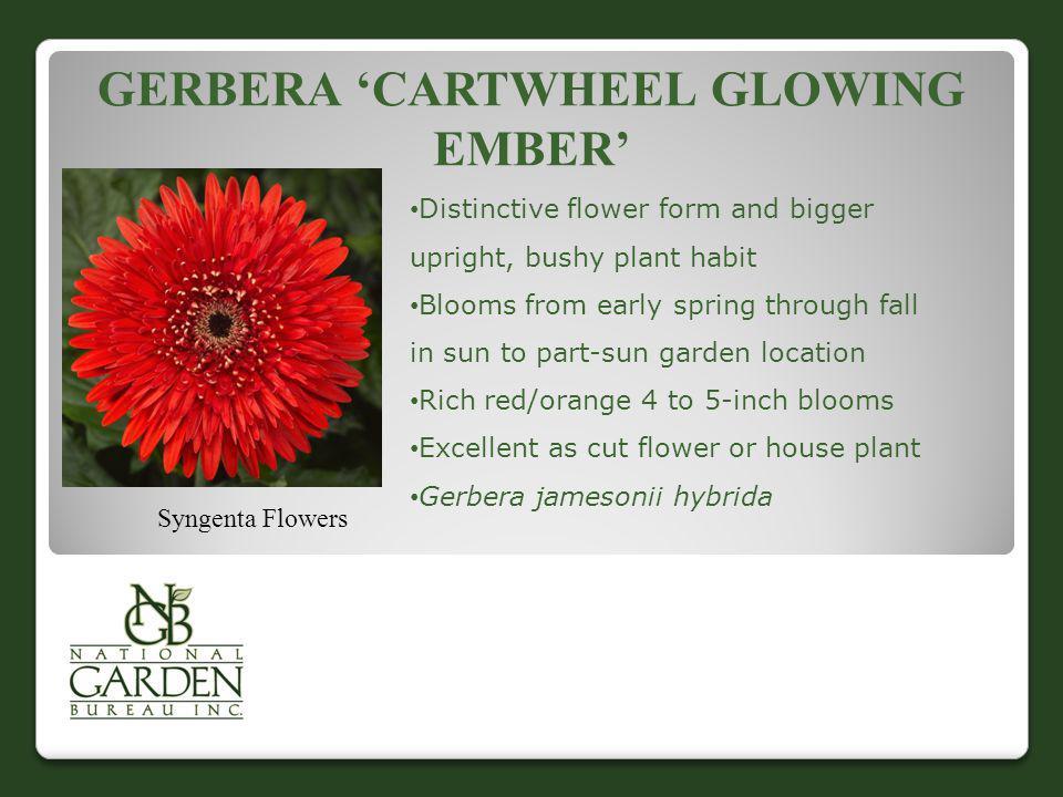 Gerbera 'Cartwheel glowing ember'