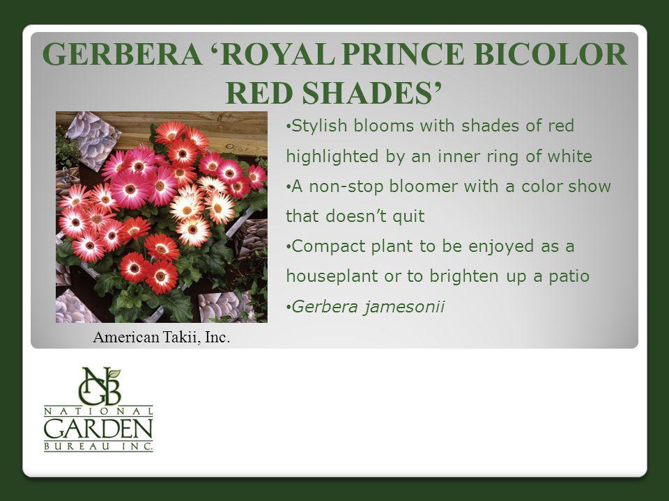 Gerbera 'Royal Prince Bicolor Red Shades'