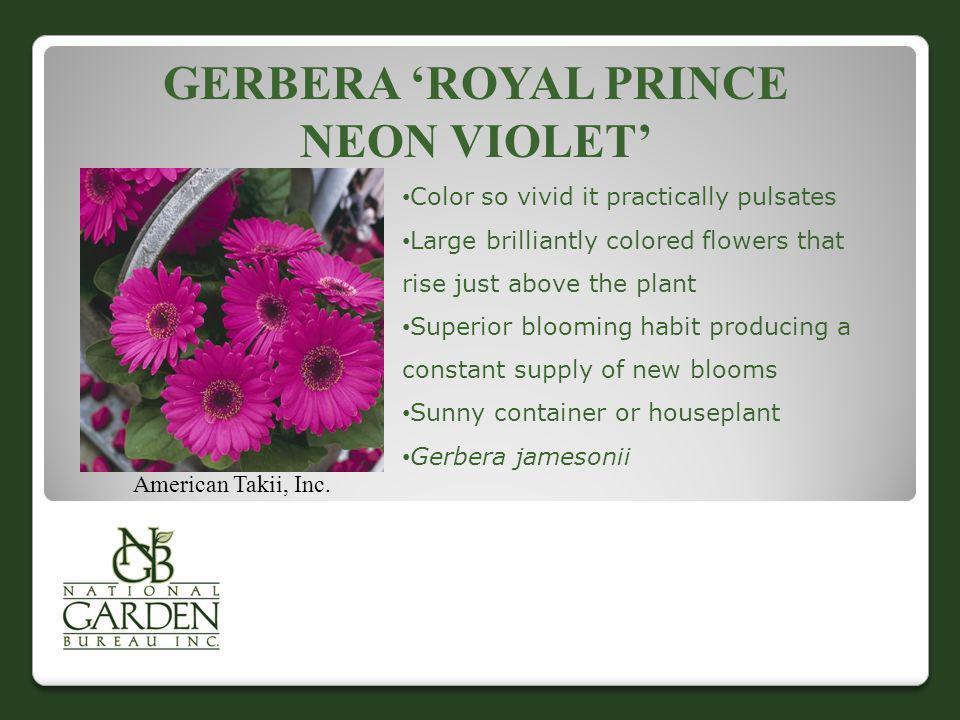 Gerbera 'Royal Prince Neon Violet'
