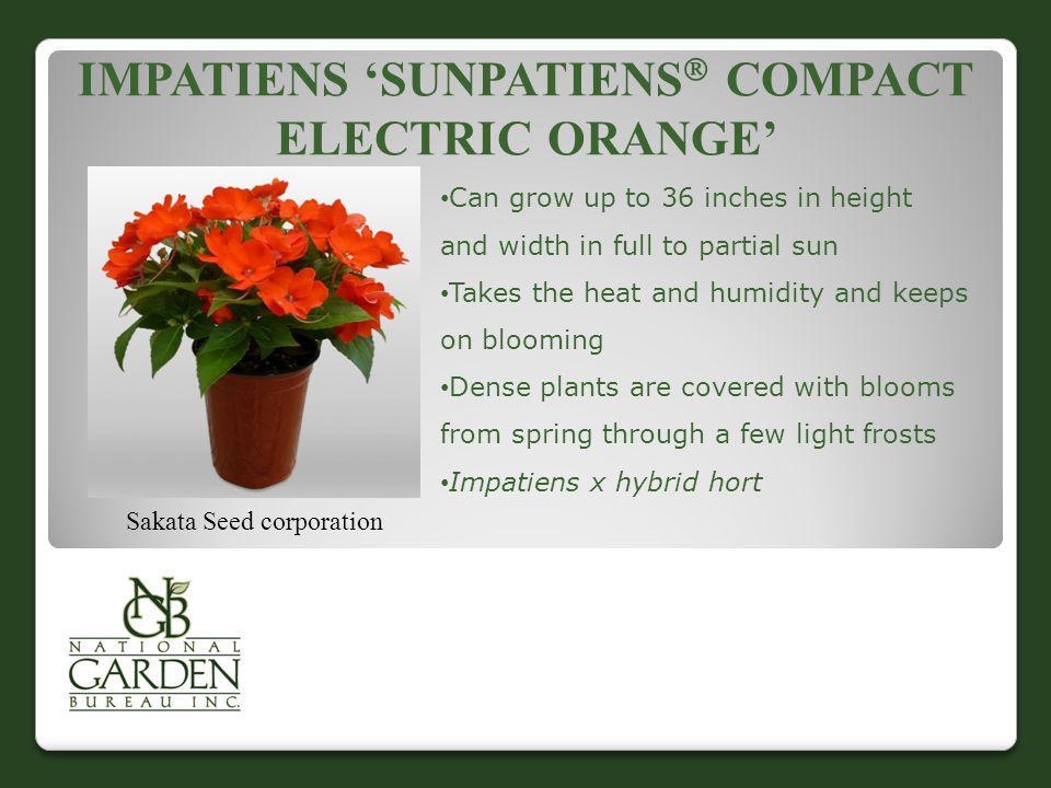 Impatiens 'Sunpatiens Compact Electric Orange'