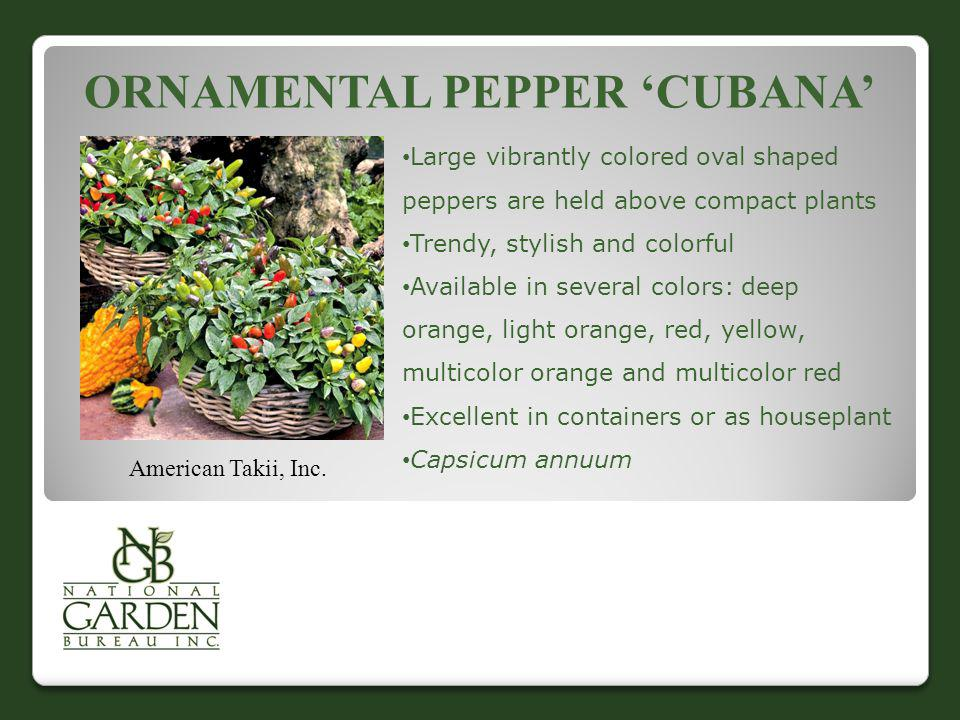 Ornamental Pepper 'Cubana'