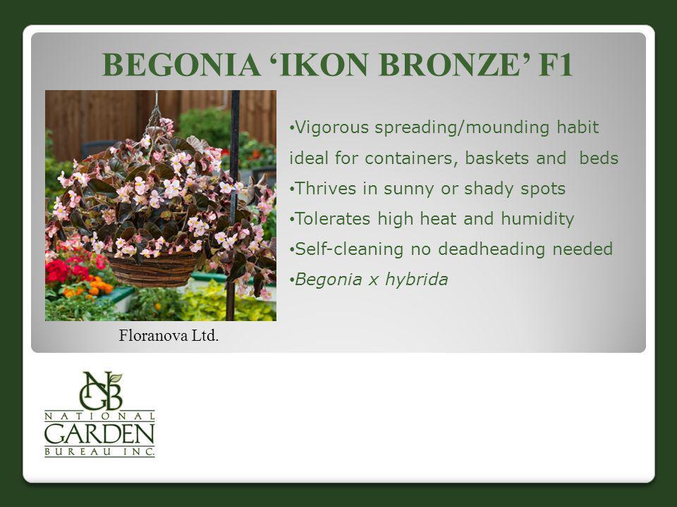 Begonia 'Ikon Bronze' F1