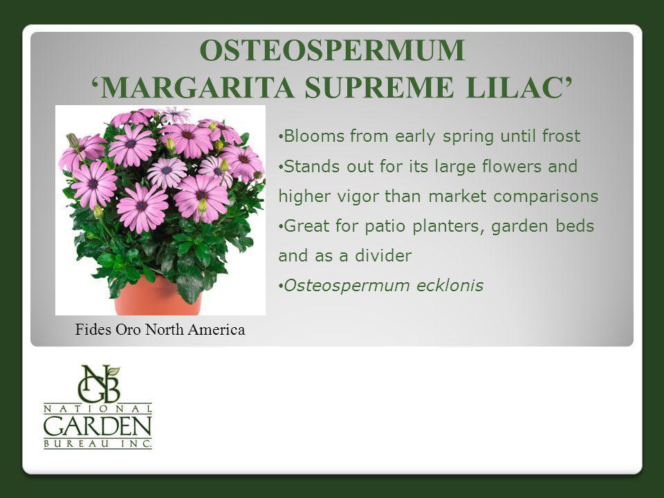Osteospermum 'Margarita Supreme Lilac'