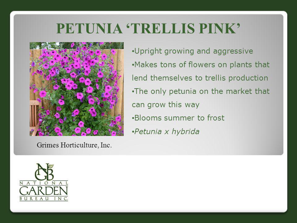 Petunia 'Trellis pink'