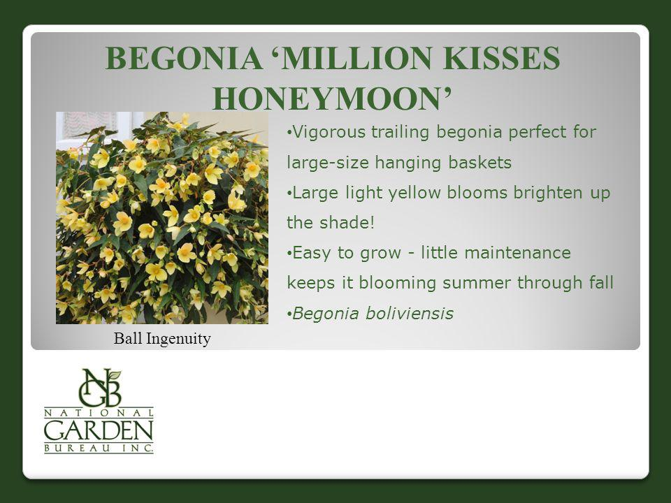 Begonia 'Million Kisses Honeymoon'