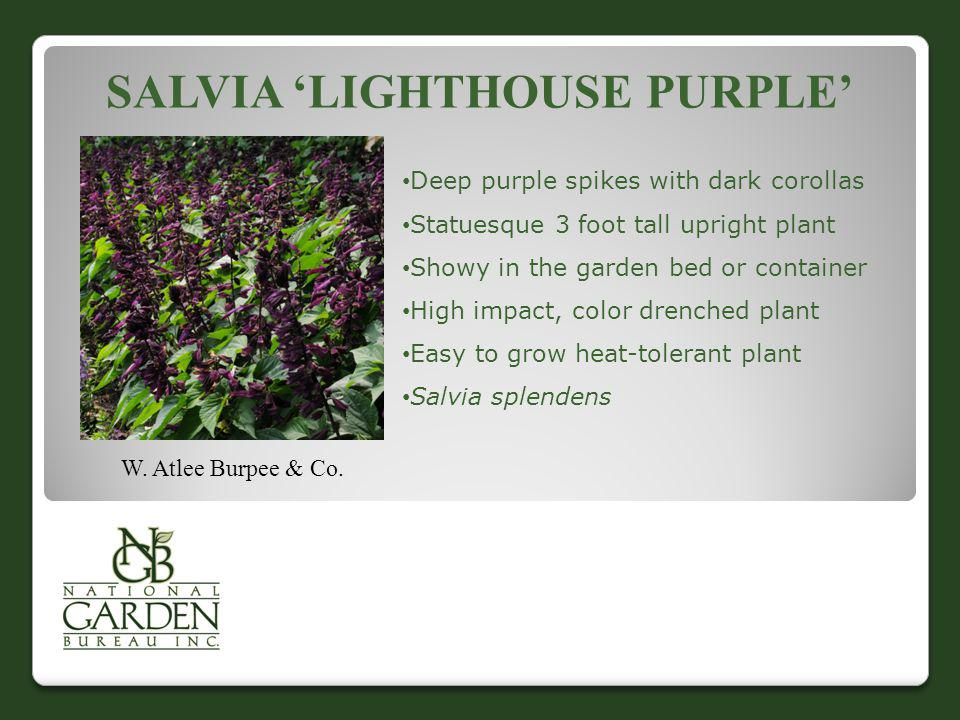 Salvia 'Lighthouse Purple'