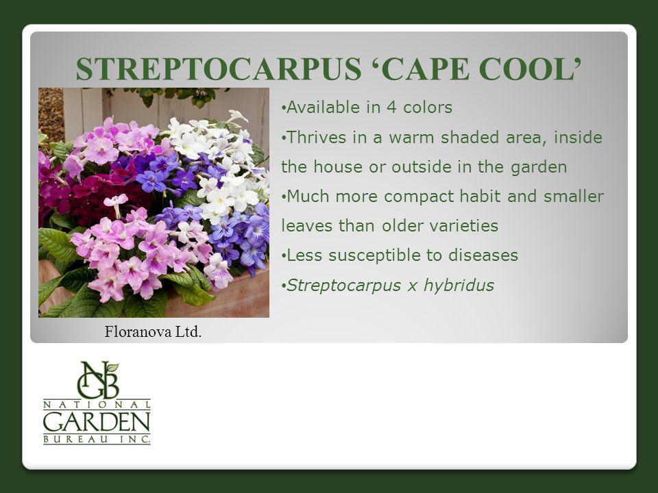 Streptocarpus 'Cape Cool'