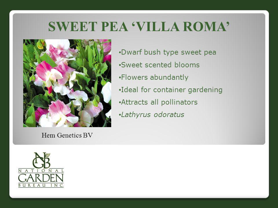 Sweet Pea 'Villa roma' Dwarf bush type sweet pea Sweet scented blooms