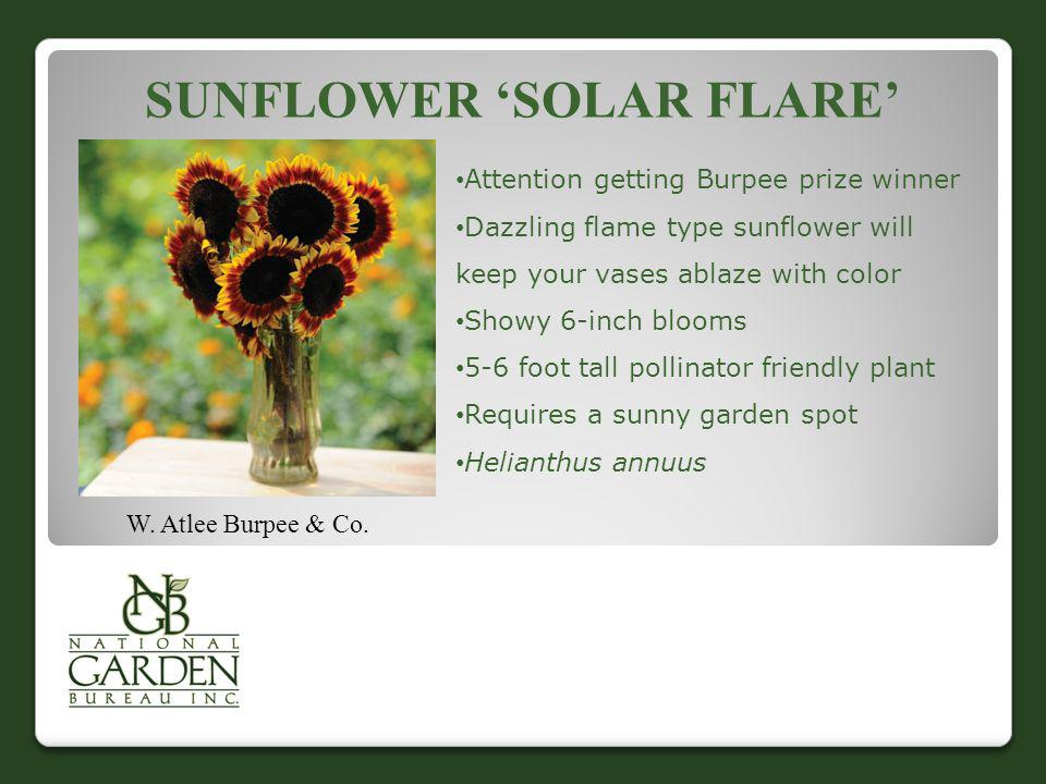 Sunflower 'Solar Flare'
