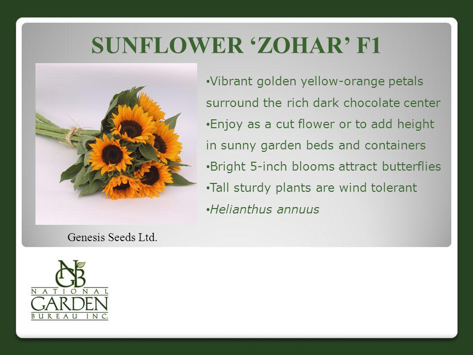 Sunflower 'Zohar' F1 Vibrant golden yellow-orange petals surround the rich dark chocolate center.