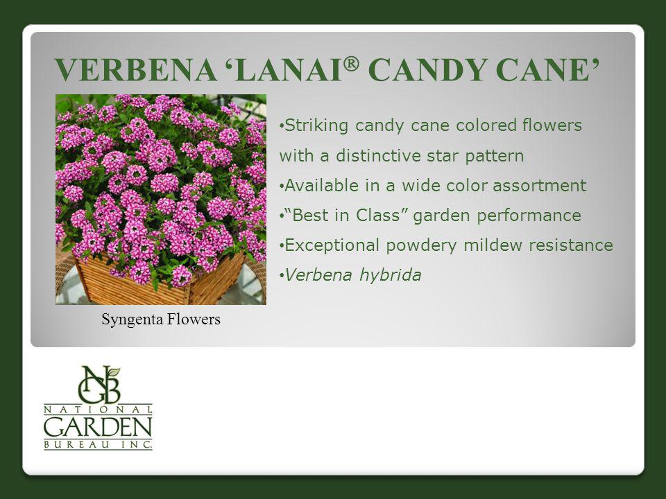 Verbena 'Lanai Candy Cane'