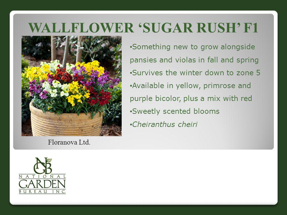 Wallflower 'Sugar Rush' F1